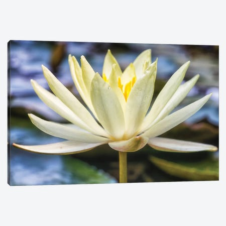 White Water Lily Canvas Print #GLM300} by Glauco Meneghelli Canvas Artwork