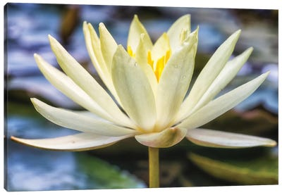 White Water Lily Canvas Art Print
