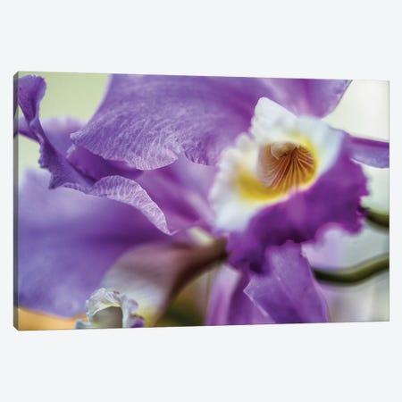 Orchid Purple Iris Flower Canvas Print #GLM305} by Glauco Meneghelli Art Print
