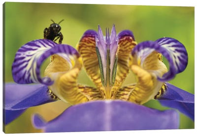 Bee On Purple Flower Canvas Art Print