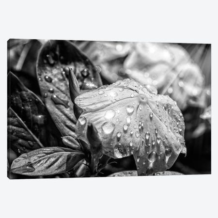 Black And White Flower Canvas Print #GLM308} by Glauco Meneghelli Canvas Wall Art