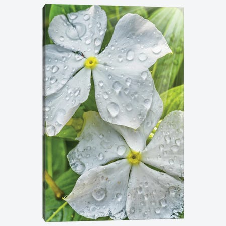 Water Drops On A White Flower Canvas Print #GLM309} by Glauco Meneghelli Canvas Wall Art