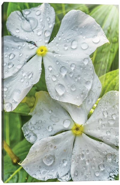 Water Drops On A White Flower Canvas Art Print