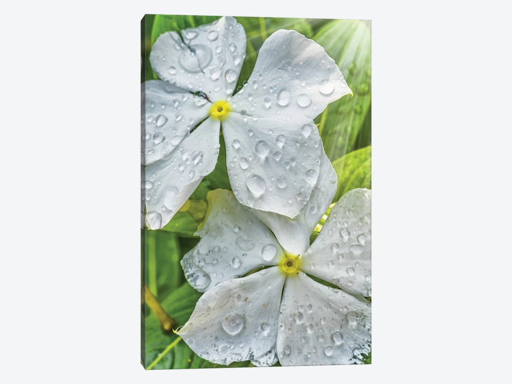Water Drops On A White Flower by Glauco Meneghelli 1-piece Canvas Artwork