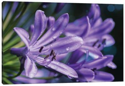 Lilium Flower Canvas Art Print