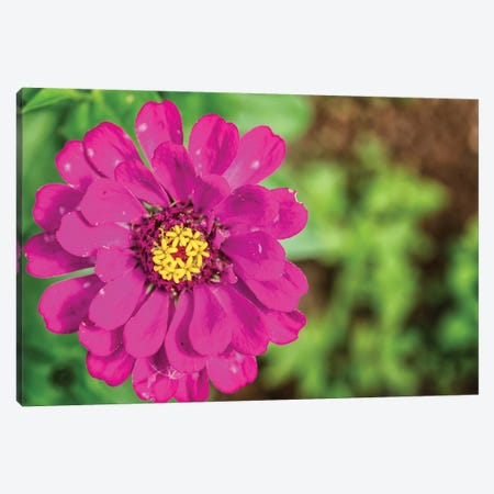 Pink Dahlia Flower Canvas Print #GLM313} by Glauco Meneghelli Canvas Print