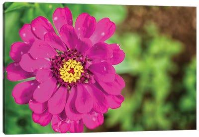 Pink Dahlia Flower Canvas Art Print