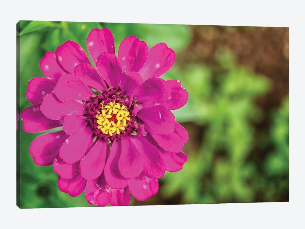 Pink Dahlia Flower by Glauco Meneghelli 1-piece Canvas Print