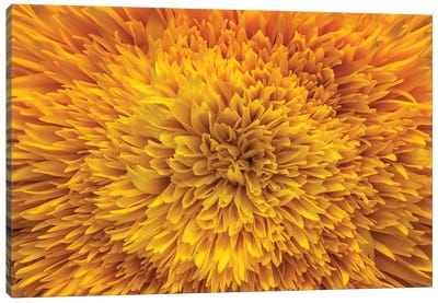 Exotic Sunflower Canvas Art Print