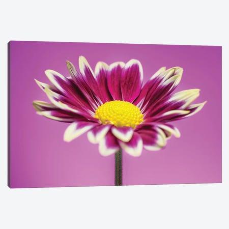 Pink Gerber Daisy 3-Piece Canvas #GLM330} by Glauco Meneghelli Art Print