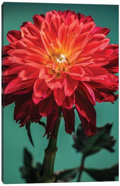 Red Chrysanthemum Flower Canvas Art Print