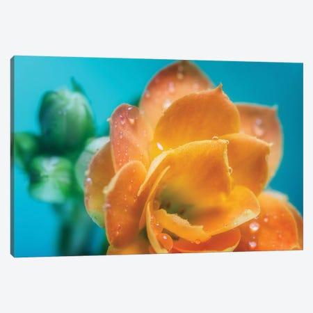 Orange Tulip With Water Droplets Canvas Print #GLM334} by Glauco Meneghelli Canvas Artwork