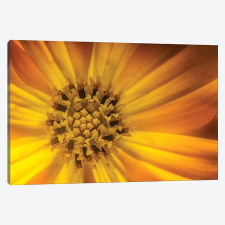 Sunflower Canvas Print #GLM338} by Glauco Meneghelli Canvas Art Print