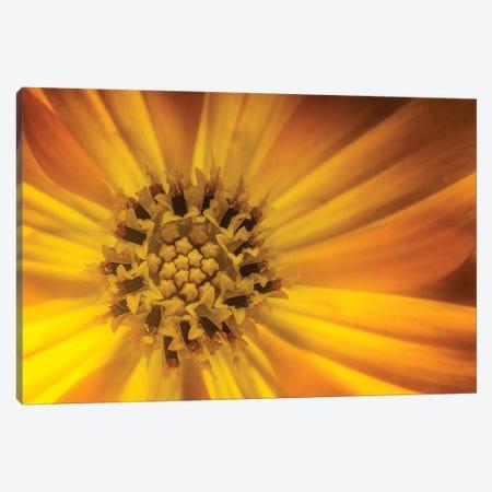 Sunflower Canvas Print #GLM338} by Glauco Meneghelli Canvas Art Print