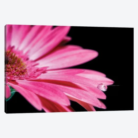 Water Drop Pink Gerber Daisy Canvas Print #GLM341} by Glauco Meneghelli Canvas Artwork