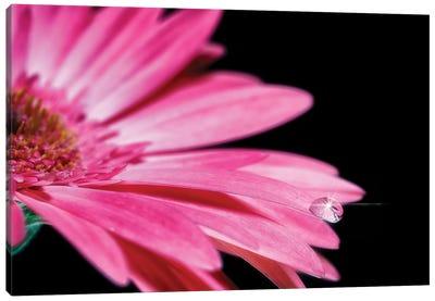 Water Drop Pink Gerber Daisy Canvas Art Print