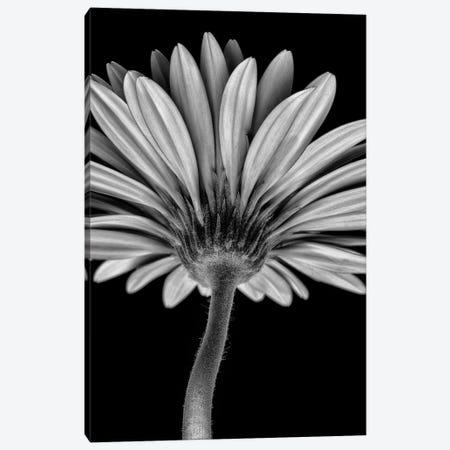 Bw Gerber Daisy Canvas Print #GLM342} by Glauco Meneghelli Canvas Art