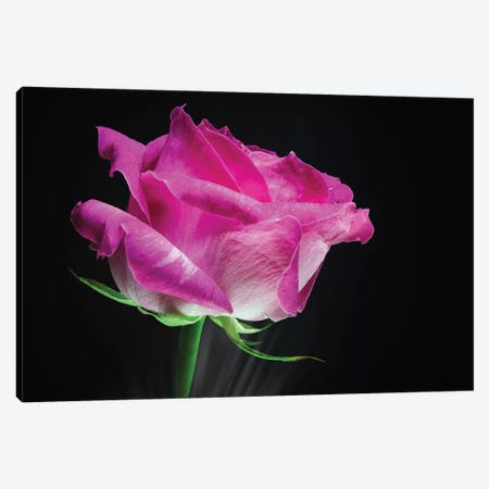 Pink Rose Flower Canvas Print #GLM345} by Glauco Meneghelli Canvas Print