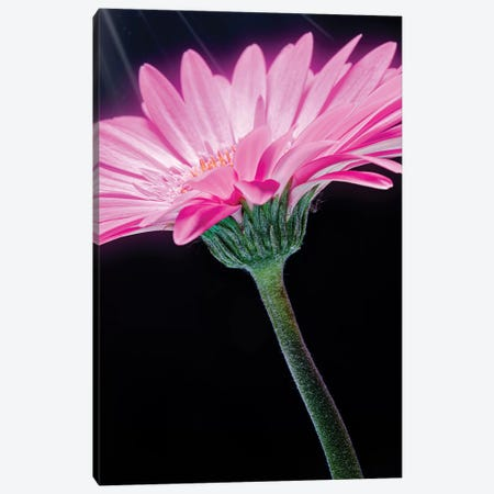 Ray Of Light Pink Gerber Daisy Canvas Print #GLM349} by Glauco Meneghelli Canvas Artwork