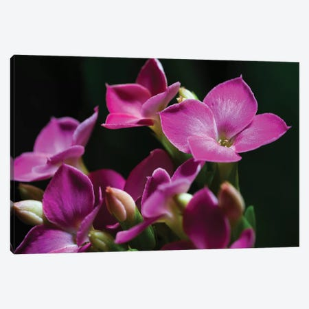 Pink Orchid On Black Canvas Print #GLM352} by Glauco Meneghelli Art Print