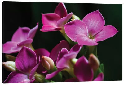 Pink Orchid On Black Canvas Art Print
