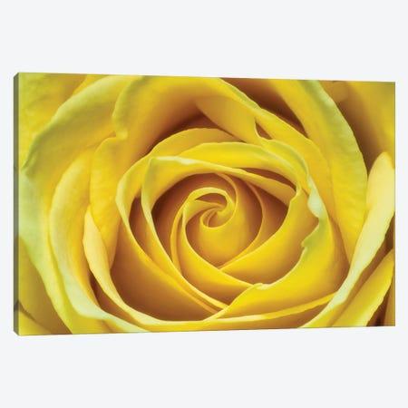 Yellow Rose Canvas Print #GLM353} by Glauco Meneghelli Canvas Art Print
