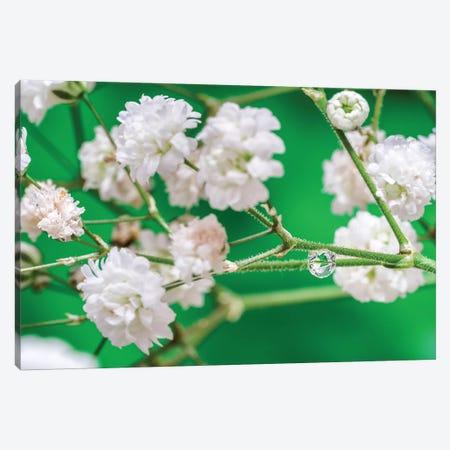 Cherry Tree Blossom Canvas Print #GLM355} by Glauco Meneghelli Canvas Art