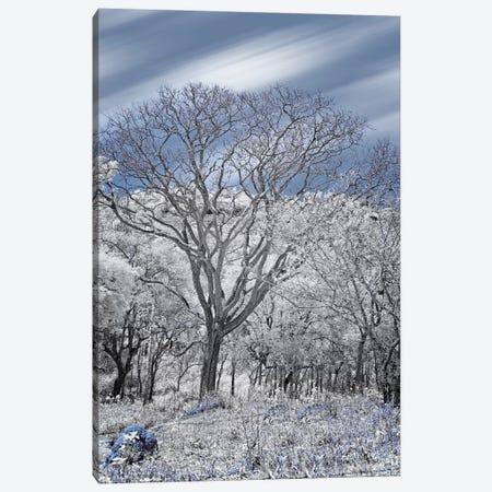 Dried Tree II  - Sao Paulo, Brazil Canvas Print #GLM37} by Glauco Meneghelli Canvas Art