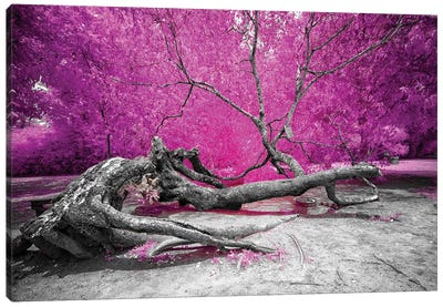 Dry Oak - Bahia, Brazil Canvas Art Print