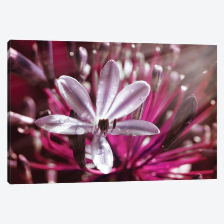Flower VII Canvas Print #GLM48} by Glauco Meneghelli Canvas Wall Art