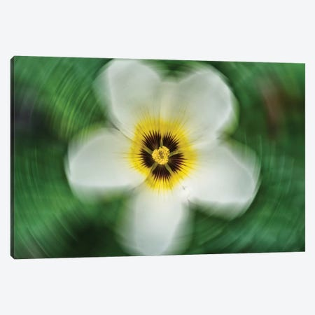 Flower VIII Canvas Print #GLM49} by Glauco Meneghelli Canvas Art