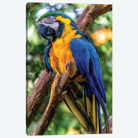 Macaw II Canvas Print #GLM517} by Glauco Meneghelli Canvas Artwork