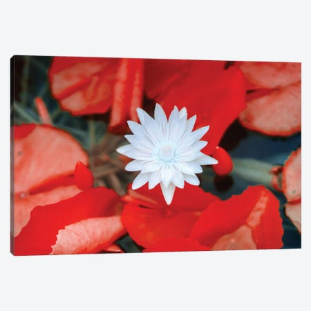 Red Dahlia Flower, Infrared Photography 3-Piece Canvas #GLM563} by Glauco Meneghelli Canvas Artwork