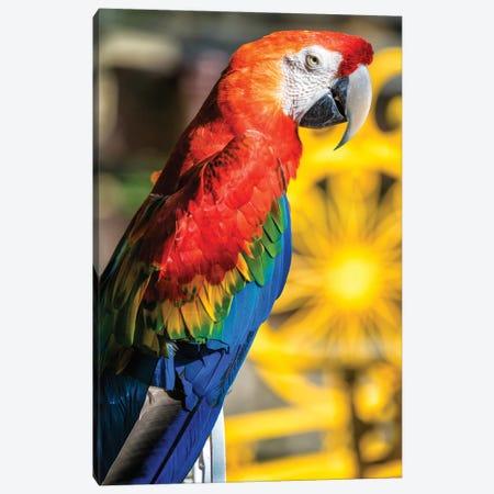 Blue And Yellow Macaw III Canvas Print #GLM570} by Glauco Meneghelli Art Print