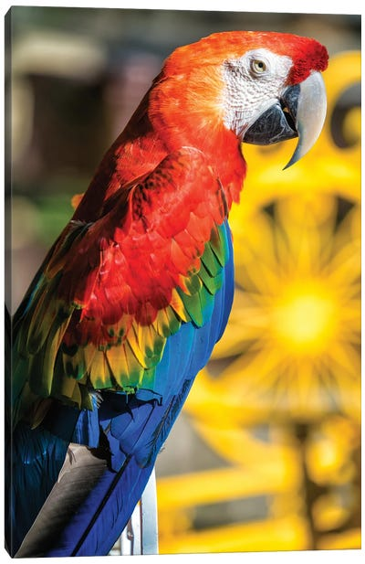 Blue And Yellow Macaw III Canvas Art Print