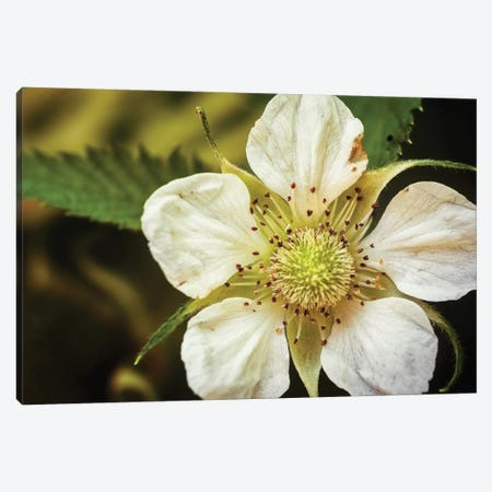 Flower XXXII Canvas Print #GLM73} by Glauco Meneghelli Art Print