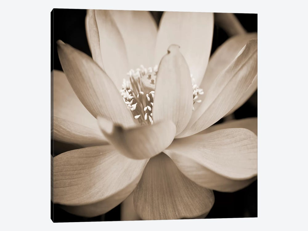Sepia Lily Ii Art Print By Glenn Taylor Icanvas