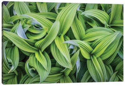 USA. Washington State. False Hellebore leaves in abstract patterns I Canvas Art Print