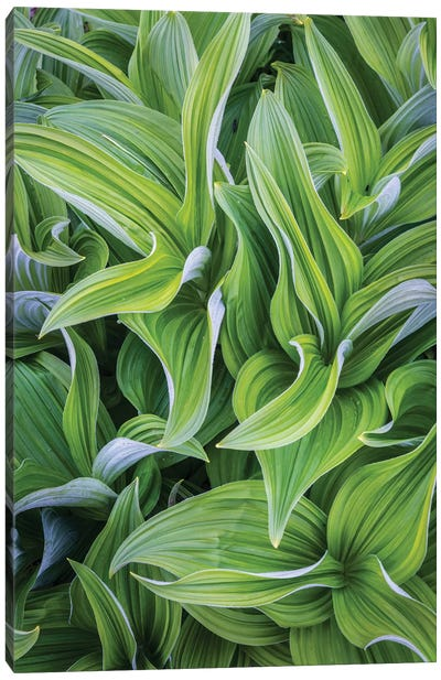 USA. Washington State. False Hellebore leaves in abstract patterns II Canvas Art Print