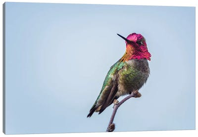 USA. Washington State. male Anna's Hummingbird flashes his iridescent gorget. Canvas Art Print