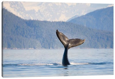 Humpback Whale Calf's Tail, Icy Strait, Alaska, USA Canvas Art Print