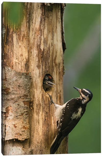 USA, WA. Female Hairy Woodpecker (Picoides villosus) at nest chick in western Washington. Canvas Art Print