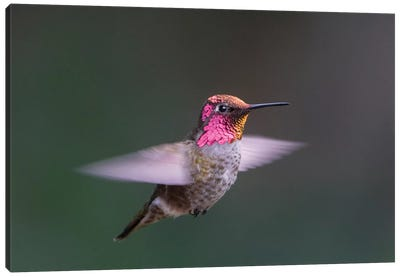 USA, WA. Male Anna's Hummingbird (Calypte anna) displays its gorget while hovering in flight. Canvas Art Print