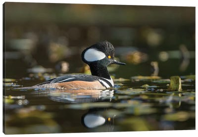 USA, WA. Male Hooded Merganser (Lophodytes cucullatus) among lily pads on Union Bay in Seattle. Canvas Art Print