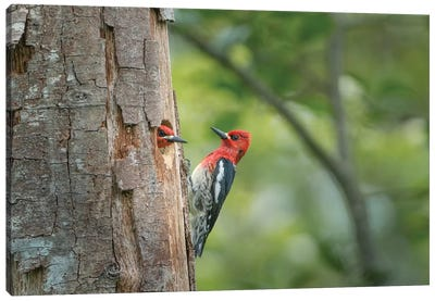 USA, WA. Red-breasted Sapsucker (Sphyrapicus ruber) mated pair at their nest in a red alder snag. Canvas Art Print