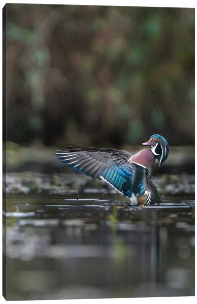 USA, Washington State. Male Wood Duck (Aix sponsa) flaps its wings on Union Bay in Seattle. Canvas Art Print