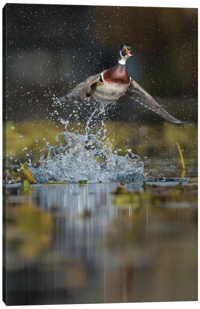 USA, Washington State. Male Wood Duck (Aix sponsa) flying from Union Bay in Seattle. Canvas Art Print