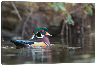 USA, Washington State. Male Wood Duck (Aix sponsa) on a pond in Seattle. Canvas Art Print