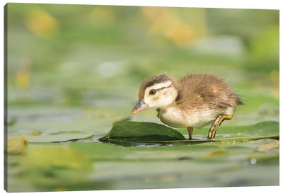 USA, Washington State. Wood Duck (Aix sponsa) duckling on lily pad in western Washington. Canvas Art Print