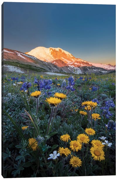 WA. Alpine wildflowers Dwarf Lupine, Tolmie's Saxifrage and Alpine Golden Daisy Canvas Art Print